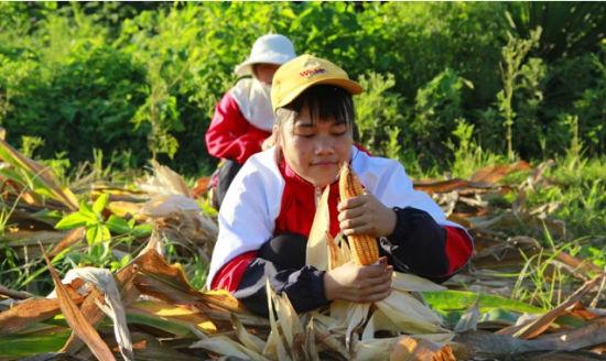 金妹在毒辣的秋日下收玉米