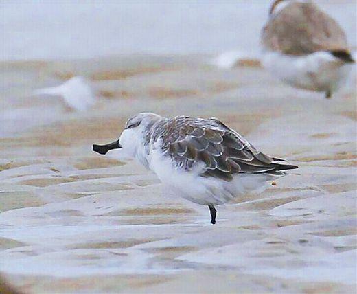 世界极危鸟类 勺嘴鹬再次现身北仑河口保护区