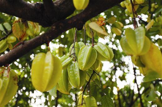 杨桃挂满树枝 图:苗丽