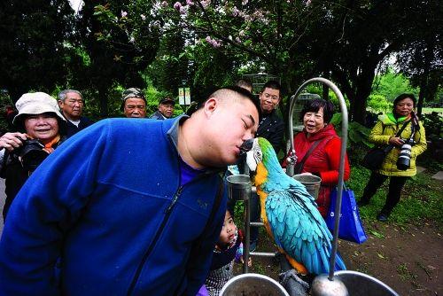 """琉璃金刚鹦鹉与黄先生""""接吻"""" 图:桂林日报通讯员/李腾钊"""