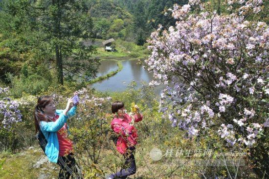 龙胜彭祖坪自然森林保护区杜鹃花正绽放