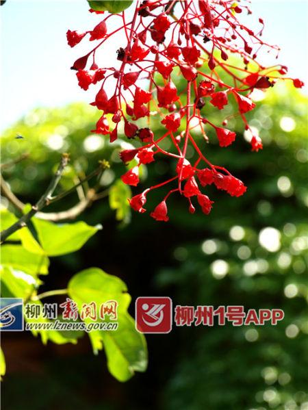 红红的火焰木开花