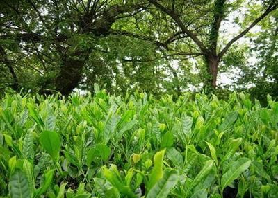茶树与这些野生九节兰花共生共济的缘故