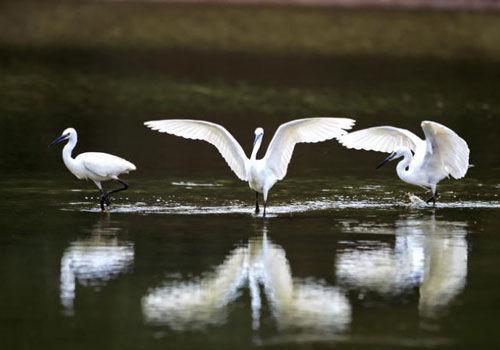 【实拍】南宁郊外鱼塘边白鹭芭蕾舞翩翩