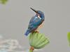 翠鸟拍摄记