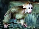未满月豚尾猴7月获解救现已长到6公斤重