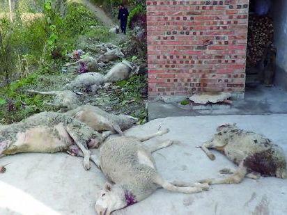 野兽深夜咬死12只羊1只躲驴圈幸存(图)