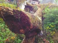 700年古树深夜被砍200多村民1人分2千(图)