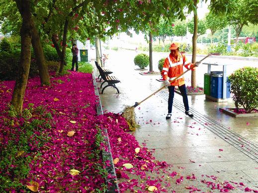 洋紫荆落满地成景被清洁工人清理(组图)