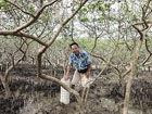 红树林保护突破科研难题插管子可养鱼(图)