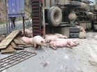 运猪车刹车失灵侧翻生猪跌落或死或伤(图)