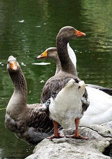 真人娱乐在线柳侯公园:步调从容的雁鹅